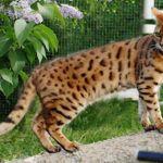 Denna vackra katt heter Silverspirits Inka och är en bengalhona. Åsa Burström har skickat in bilden.