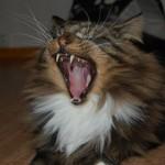 Katten Ceasar är en norsk skogkatt som är 5 år och kommer från dalwhinnies.se. Ägare Ingrid Jonasson.