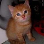 Denna söta kattunge heter Foxy och ska flytta hem till min dotter Elin och hennes sambo Jens om en vecka.