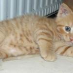 Denna kattunge heter Gustav. Sandra, som är hans första matte berättar att han skulle flytta till sin nya familj i juli.