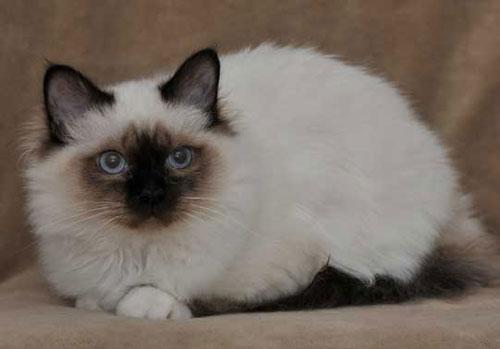 kattraser med blå ögon