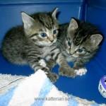Två kattungar, 3 veckor gamla. Vänstra kattungen är en skeppskatt, med en extra klo på varje tass. Kattungarna hör hemma på Micawbers Kennel.