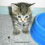 En liten kattunge som är en skeppskatt. Hon är ungefär 3 veckor gammal. Denna kattunge hör hemma på Micawbers Kennel.