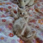 Denna kattunge heter Rune och är ca 10 veckor gammal. Rune hittades på en soptipp men har nu fått ett hem hos Britt.