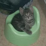 Denna goa kattunge heter Sigge och är på bilden 2 månader. Tydligen har han redan förstått vad pottan är till för :) Matte heter Veronika.