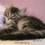 Katten Smilla är världens goaste katt, enligt matte Annika Lindgren. På bilden är hon en kattunge på 11 veckor.