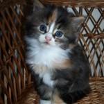 Kattungen heter Symfoni och är född 080809. På bilden är hon 5 veckor gammal. Matte heter Sara.