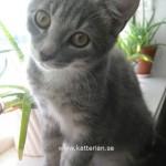 Detta är kattungen Totoro. Här är han uppe i fönstret för att leka med matte Rebeckas Aloe Vera växter.